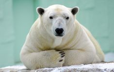 A watching polar bear by In Cherl Kim Bear Photos, Bear Pictures, Animal Pictures, Artic Animals, Cute Animals, The Pussycat, We Bear, Bear Doll, Animal Totems