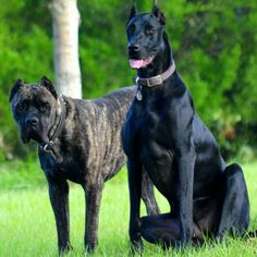 Cane Corso Mastiff (Crixus) and Great Doberdane (Nyx)
