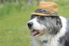 Jengo wearing a hat, what a crazy dog