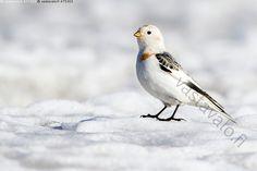 Pulmunen - pulmunen Plectrophenax nivalis lintu linnut varpuslinnut sirkut… Birds, Nature, Animals, Beautiful, Naturaleza, Animales, Animaux, Bird, Animal