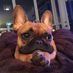 A French Bulldog Puppy having very Deep thoughts @brucethefrenchbully #buldog