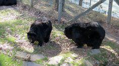 QC - Hemmingford - Parc Safari - 17 of 25 - Black Bears