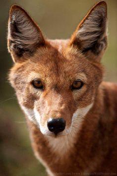 Tamika the Ethiopian wolf (Jake Enmity)