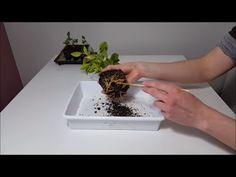 Trasplante de limoneros || Tasplante Mandarino || Trasplante Naranjo || Cultivo paso a paso - YouTube