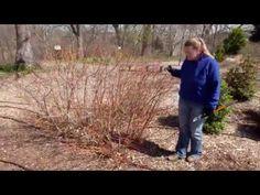 Dogwood Shrub, Yellow Twig Dogwood, Shrubs, Spring, Color, Colour, Shrub, Colors