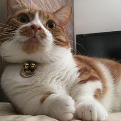 ℋᵅᵖᵖᵞℬⁱʳᵗᑋᵈᵃᵞ◡̈*❤︎✩°。⋆ * ふうくん今日で1歳になりました🎂✨ * えっ、まだ1歳って⁇笑 * 貫禄あるからなぁ〜😁💕 * これからは、去勢した猫用キャットフードに😝👍 * 毎日元気にモコちゃんと過ごせますように❤️❤️❤️オメデトウ(pq´∀`)┌iiiiii┐(´∀`pq)パチパチ *  #followme #love#animal #愛猫#茶白#愛猫家#癒し#ペコねこ部#猫部#はちわれ部#cat #munckin#ニャンスタグラム#ニャンダフルライフ#ねこの誕生日 #短足マンチカン#マンチカン#ふうくん