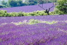 The Healing Powers of Lavender | DoItYourself.com