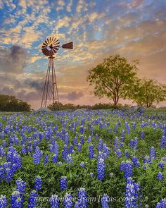 bluebonnets,windmill,texas hill country,texas sunrise,bluebonnets and…