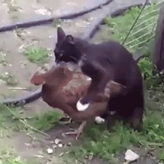 GIF The cat fell in love with a chicken