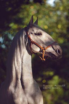 I love this horse, what a unique Roman nose! Lusitano Camarim, Carina Maiwald Fotografie