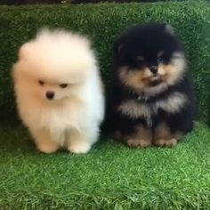 Cute Dogs And Puppies, Baby Dogs, Pet Dogs, Doggies, Animals And Pets, Funny Animals, Cutest Puppy Ever, Cute Pomeranian, Pomeranians
