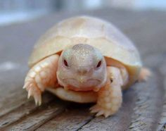 This is what a baby albino turtle looks like.