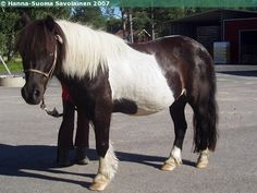 Barbarella - Shetland Pony mare