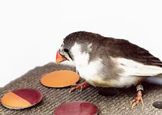 Birds perceive colors in categories just like humans do: a recent study shows that zebra finches perceive red or orange, even when reality is a shade somewhere in between  Songbirds Perceive Color Like People Do, about an elegant study by a team @DukeU, published by @nature