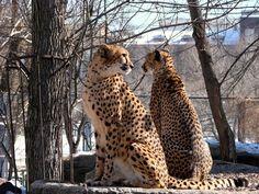 Гепарды в Москве...