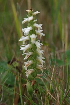 Great Plains Ladies' Tresses (Spiranthes magnicamporum) Great Plains, Orchid Flowers, All Plants, Native Plants, Wildflowers, Arkansas, Kentucky, Tennessee, Flora