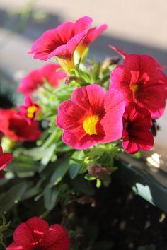 Op de heide zie je mooie rood/ roze bloemen