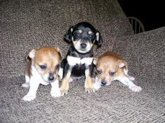 ... Chihuahua, Miniature Pinscher, Chihuahua pups, Dog Breed Info Center