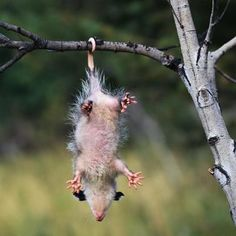 Opposum - some days I feel like this!