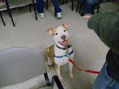 Simon! Dog Classes, Pitbulls, Dogs, Animals, Animales, Pit Bulls, Animaux, Pet Dogs, Pitbull
