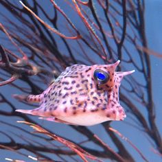 New England Aquarium: The baby cowfish is doing a lot of growing up this...