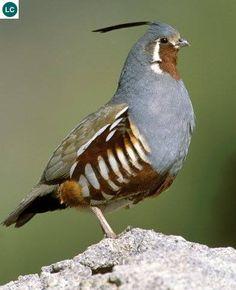 Cút California - California quail (Callipepla californica)(Odontophoridae) IUCN Red List 3.1 : Least Concern (LC)(Loài ít quan tâm)