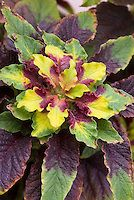 Amaranthus tricolor 'Splendens' amaranth | Plant & Flower Stock Photography: GardenPhotos.com