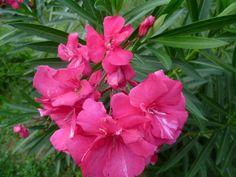 Las hermosas flores de las adelfas.