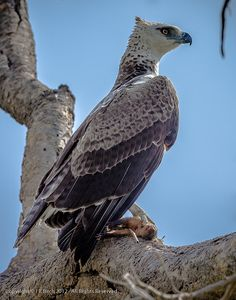 Young Martial Eagle with Prey