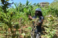 Jaimaica quiere aprovechar el potencial económico de la marihuana - http://growlandia.com/marihuana/jaimaica-quiere-aprovechar-el-potencial-economico-de-la-marihuana/