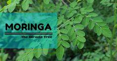 Moringa, The Miracle Tree Start use this, you'll see tons of benefits!!  Click to read More ITS FREE!!  Kelor, Pohon ajaib. Mulai konsumsi Kelor anda akan terkejut dengan Banyaknya Manfaat Kelor.