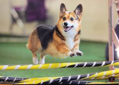 The Daily Corgi: Simon -- From Shelter Dog to Agility Ace #corgi