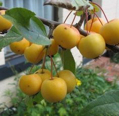 Malus 'Butterball' Crabapples