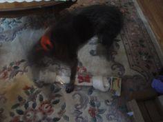 Chella Bella at 7 months (Xmas)   Born May 25/2012