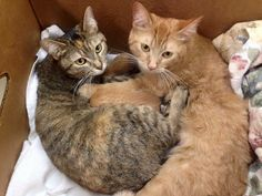 """Two abandoned cat mothers were found in a garage. When they were turned into the shelter in a box, they clutched together with their eight tiny nursing kittens just days apart in age.  Courtesy of Here Kitty Kitty Rescue """"Megan and Moha are inseparable and care for their wee ones interchangeably..."""