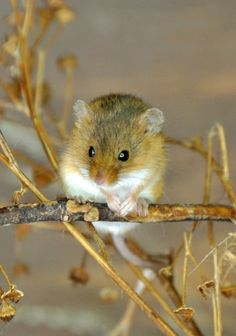 HARVEST MOUSE [micromys minutus]
