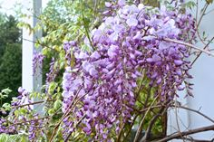 The Wisteria Came Out to Play!