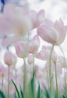 Tulip, Hitachi Seaside Park, Hitachinaka, Ibaraki, Japan