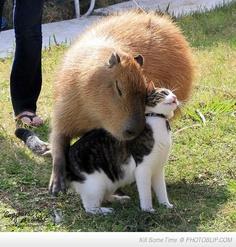 A Capybara Hugging A Cat.