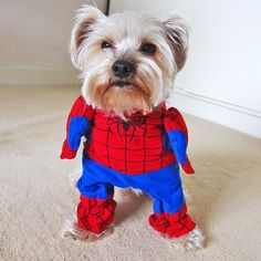 Ever wanted your doggy to become a superhero? Now he can fight crime and become a true vigilante when he goes out for walkies in his Spiderman Dog costume! https://www.dressyourdoggy.com/collections/funny-dog-costumes/products/spiderman-dog-costume?variant=27531262409