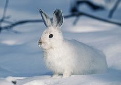 The arctic hare lives in the extremely harsh environment of the North American tundra and Greenland. The Arctic hare is well-suited to conditions. Arctic Hare, Arctic Animals, Baby Animals, Fluffy Animals, Rabbit Pictures, Year Of The Rabbit, Photos Hd, Warm In The Winter, Winter White