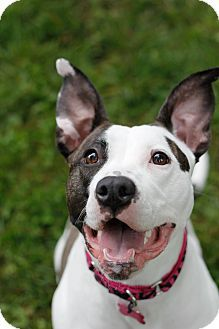 Lola is an adoptable Pit Bull Terrier/Dalmatian Mix up for adoption in Perry Hall, MD! Check out her page for more details!