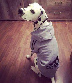 Bluza dla psa Adidog Labrador Retriever, Pitbulls, Dogs, Animals, Labrador Retrievers, Animais, Animales, Animaux, Chocolate Labradors