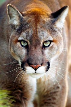 A Cougar's Penetrating Stare. Big Cats, Cool Cats, Cats And Kittens, Nature Animals, Animals And Pets, Cute Animals, Beautiful Cats, Animals Beautiful, Pumas Animal