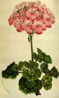 Garden Geranium Madame Victor le Febvre (1845).