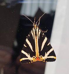 spaanse vlag (Euplagia quadripunctaria)