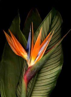 Bird of paradise   Bird of Paradise