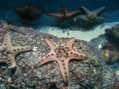 Starfish - Sea Aquarium SINGAPORE