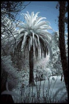 Snow on a palm tree Neige sur un palmier Winter Szenen, Winter Magic, Magic Snow, Winter White, All Nature, Amazing Nature, Snowy Day, Snow Scenes, Winter Beauty