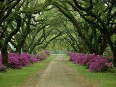 Un hermoso camino bordeado de árboles y azaleas moradas Lámina fotográfica